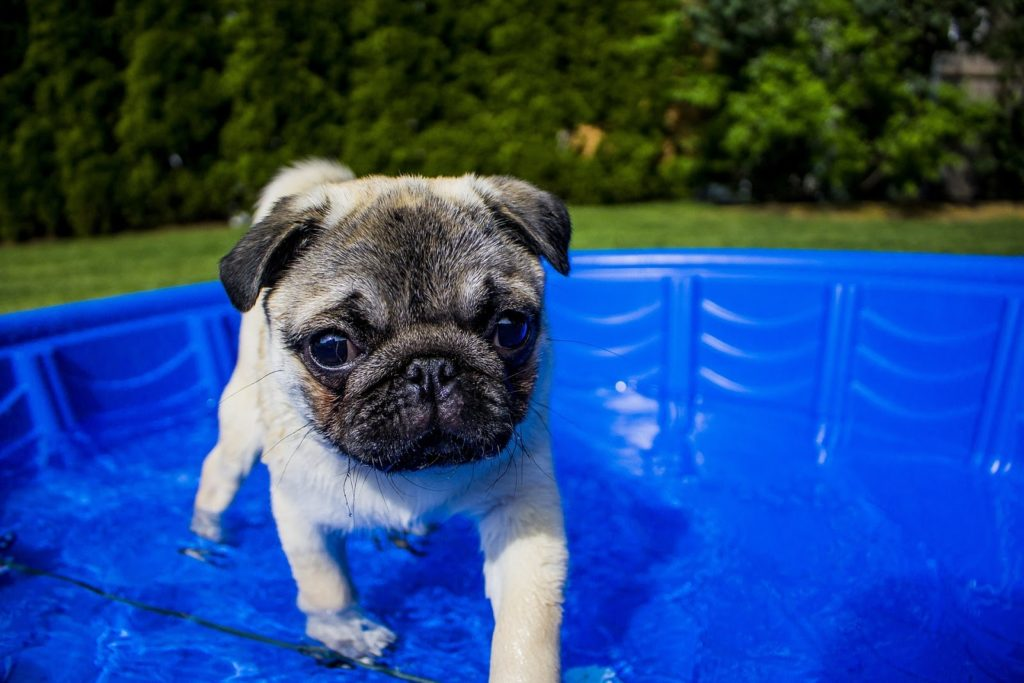 Pug puppy in his own plastic blue baby pool.
